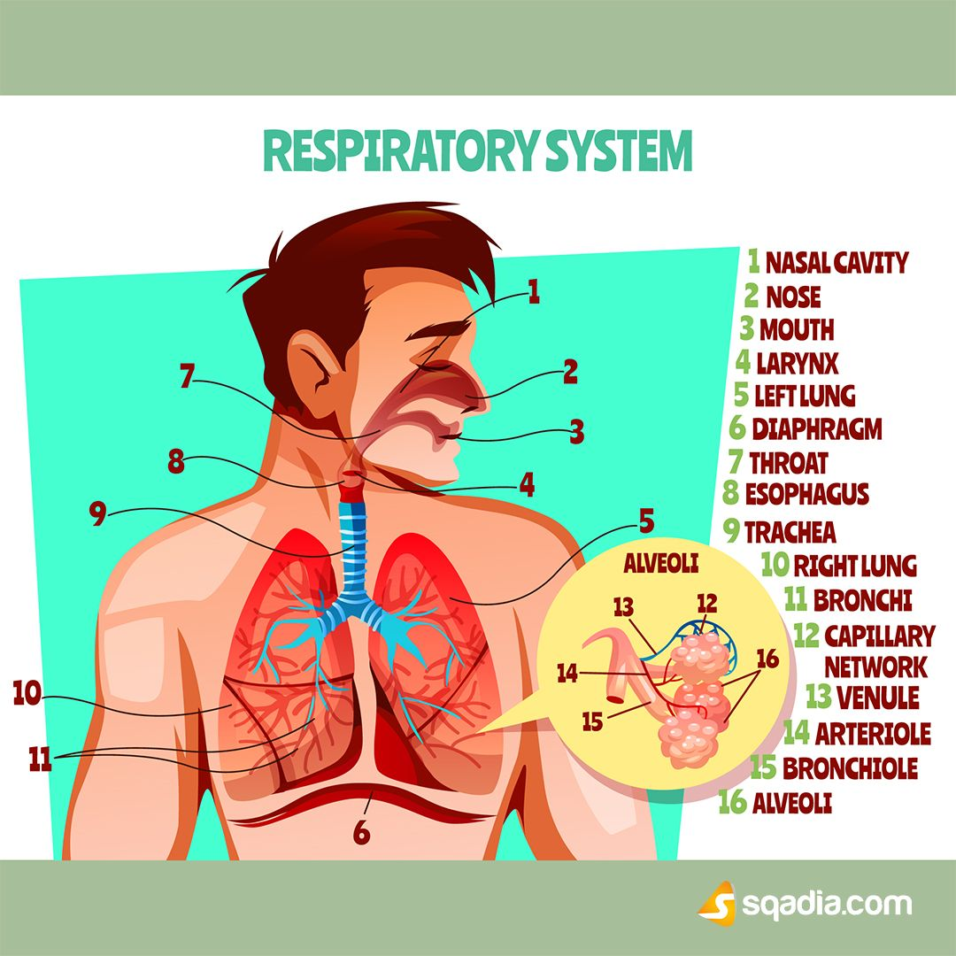 The Respiratory System Is A Biological System Consisting