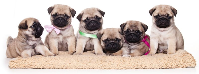 Home Pet Store Puppies Pug Puppies Pug Puppies For Sale