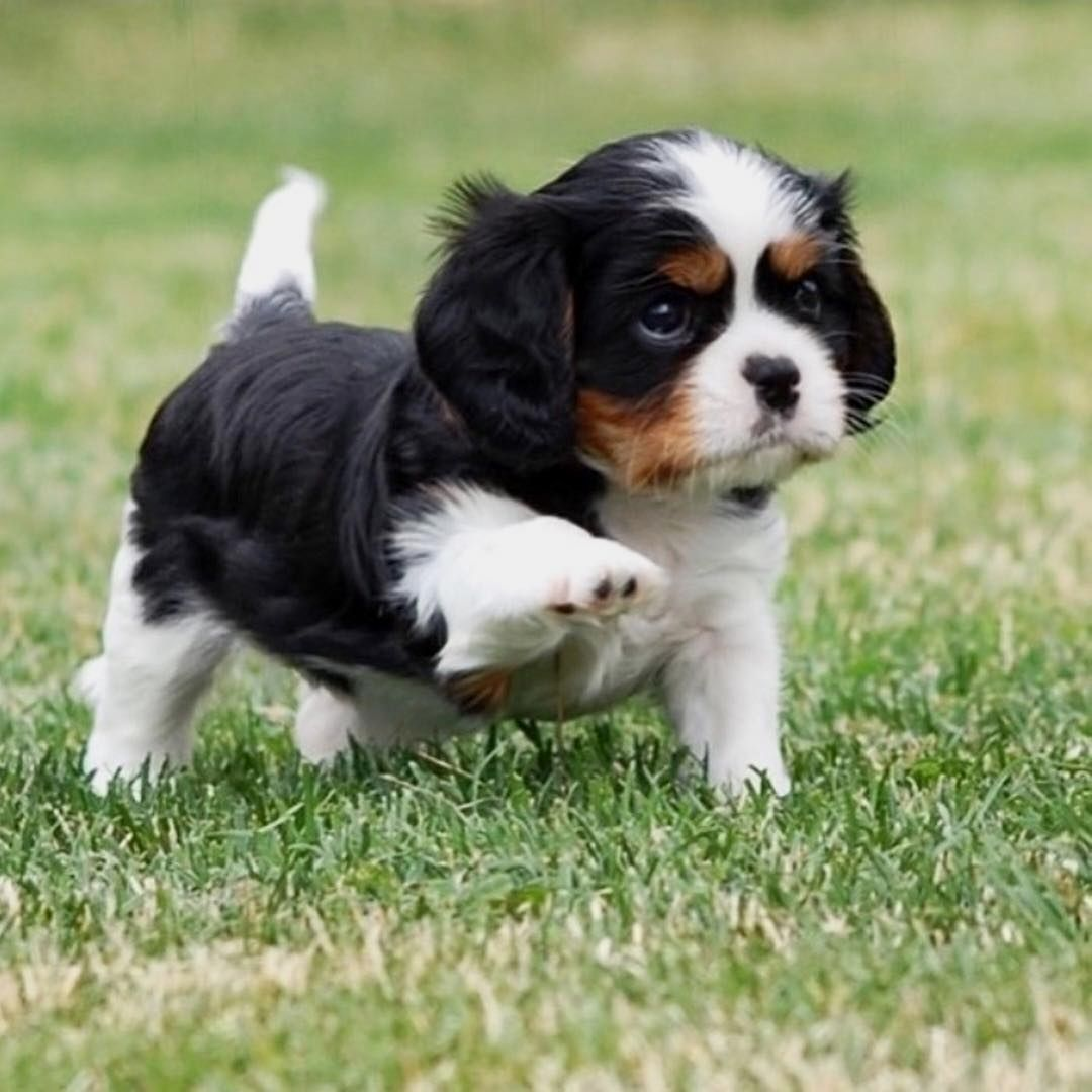 Pin By Melba Joiner On Cavs Cavalier King Charles Dog King
