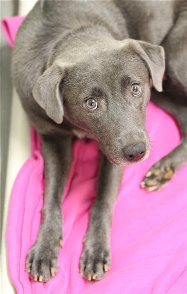 Hallie SPCA of Texas (Dallas) 153763 Dog adoption