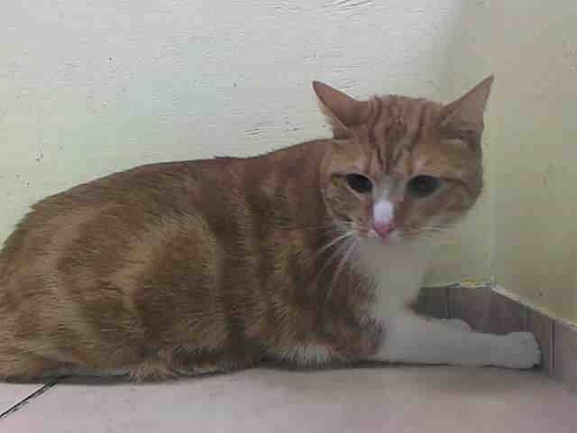 To Be Killed 10 2 14 Noon Nyc My Name Is Gizmo Id A1014548 I Am A Neutered Orange White Boy 4 Yrs Old He Probably Just Ca With Images Cat Adoption Pets Cat Birthday