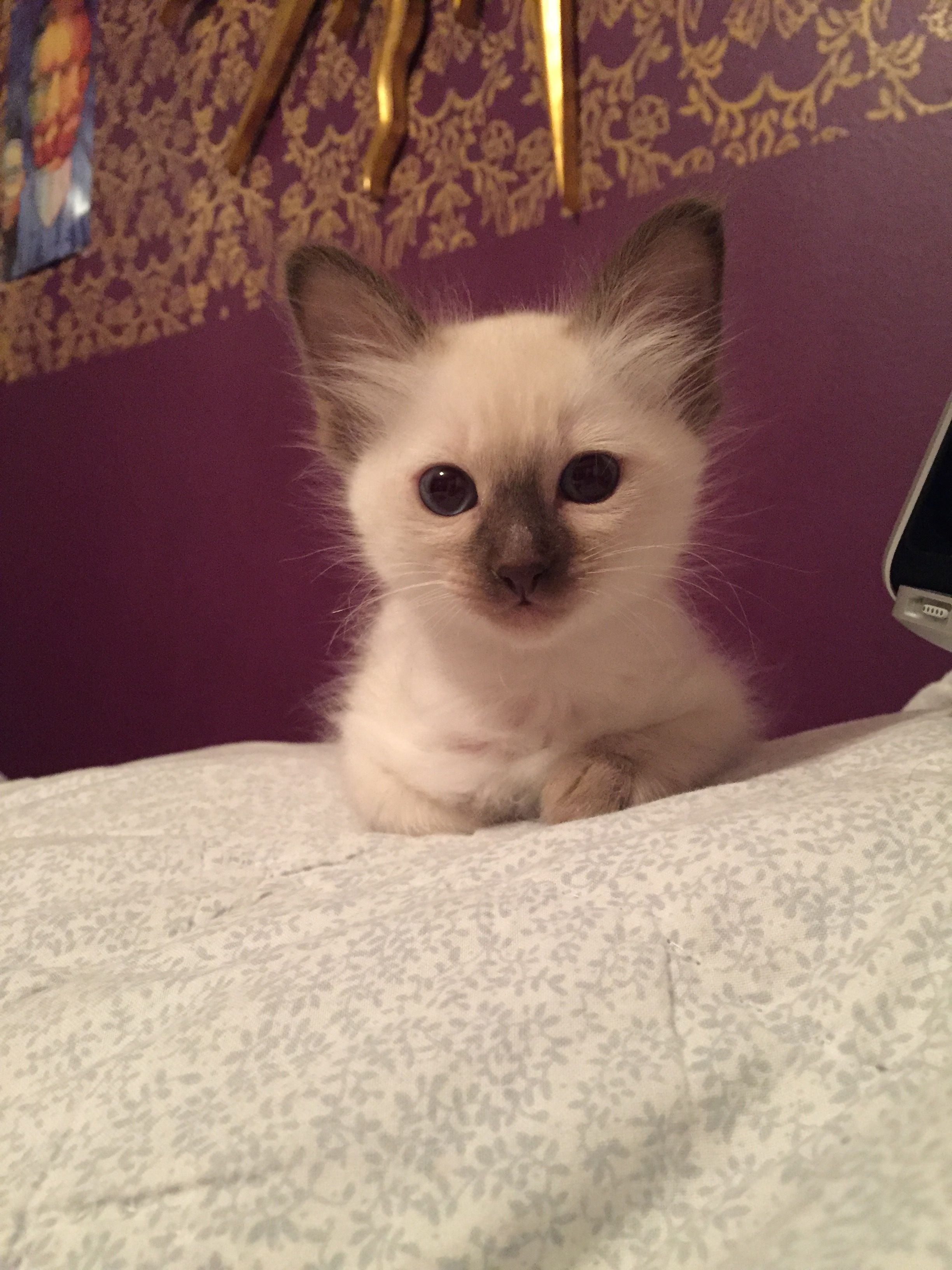 My New Balinese Kitten Posing For The Camera Cute Cats Balinese Cat Siamese Cats