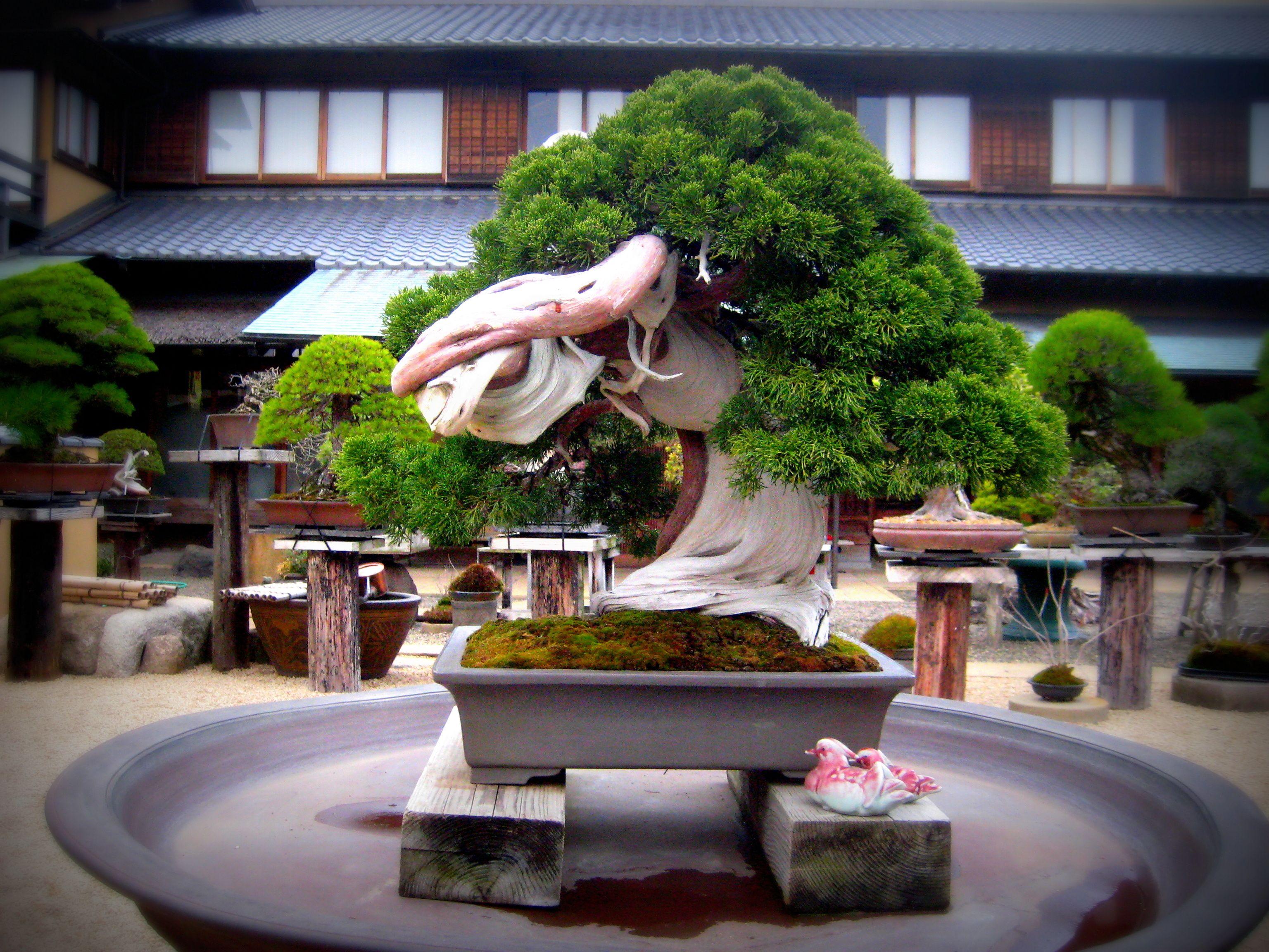 An 800 yearold Bonsai tree at Shunkaen, by sensei Kunio
