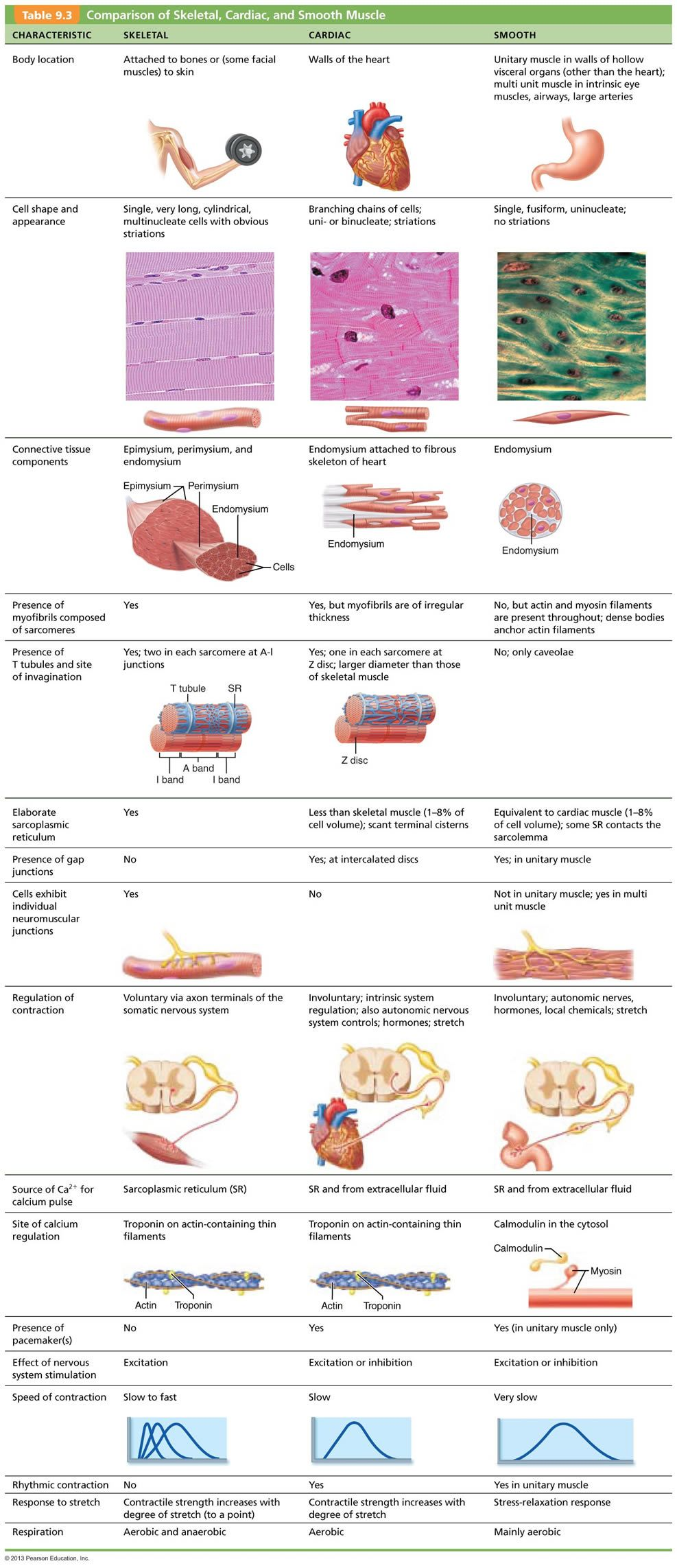Chapter 9: Muscles and Muscles Tissue | Histotechnology ...