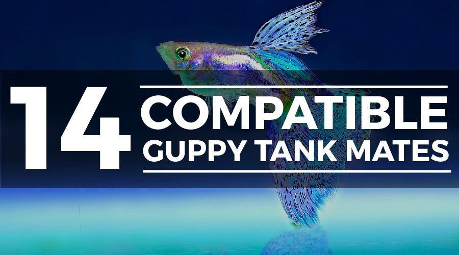14 Awesome Guppy Tank Mates Compatibility Guide Fresh Water Fish Tank Guppy Guppy Fish