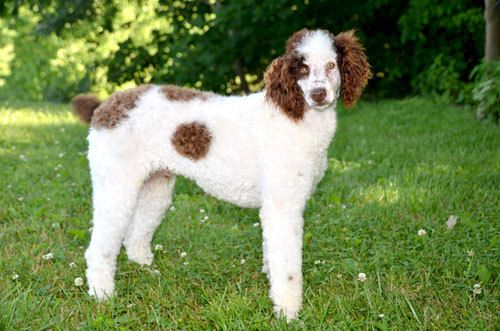 Adopt Spot On Poodle Dogs Adoption