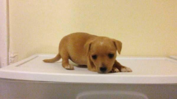Chiweenie Chiweenie Cute Dogs Puppies