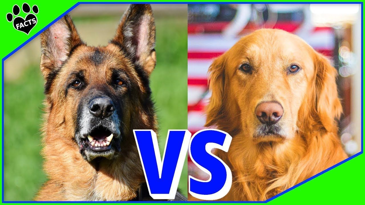 German Shepherd Vs Golden Retriever Which Is Better Dog Vs Dog