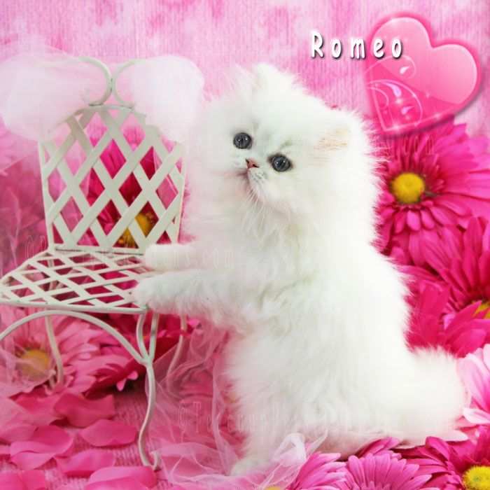 White Persian Kitten Call 772 460 1795 Www Teacuppersiankittens Com Www Preciouskittens Com Cat Persian Kittens For Sale White Persian Kittens Persian Kittens
