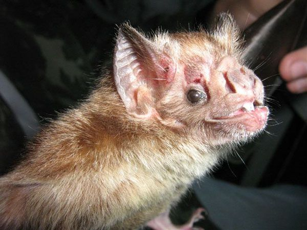 5 Amazing Animals That Start With The Letter V Vampire Bat Animals Beginning With V Animals