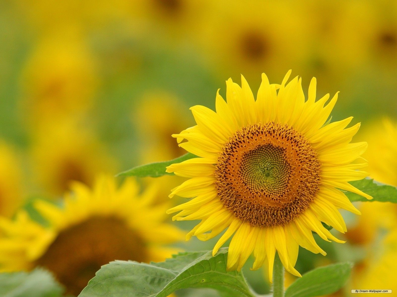 Sunflower Wallpapers HD Pictures One HD Wallpaper Pictures