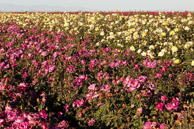 Rose fields, Phoenix, AZ Places I get to go Pinterest - haus und garten