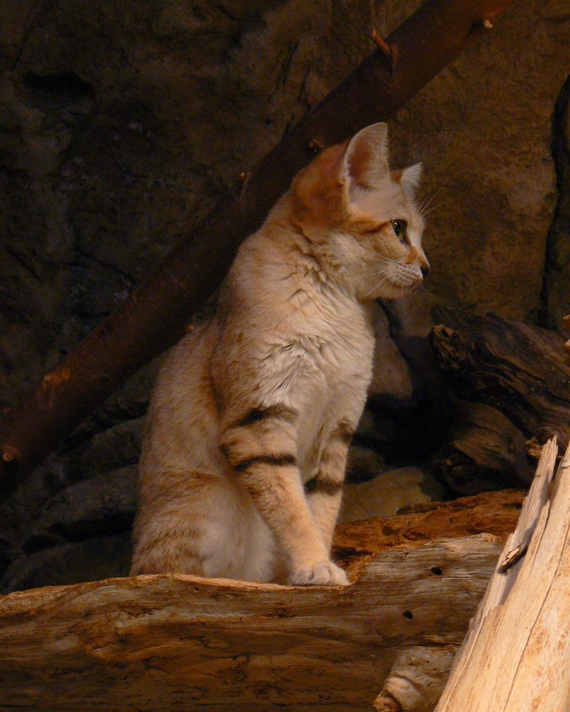 A sand cat ..beautiful Cat 5 Most Beautiful cat Types