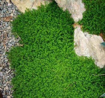 Rupturewort Herniaria Glabra Potted Plant Organic On