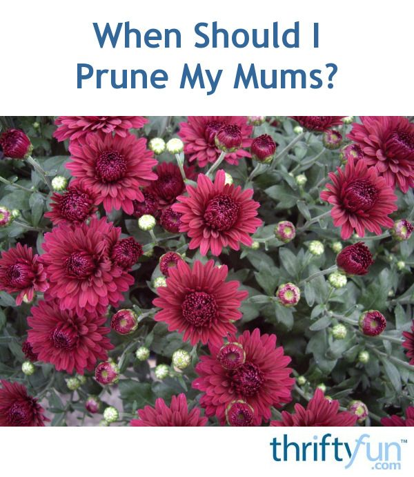 When should i prune my mums gardening pinterest mums are a perennial favorite in many flower gardens having blooms late into the fall and even winter regular pruning ensures seasons of beauty mightylinksfo