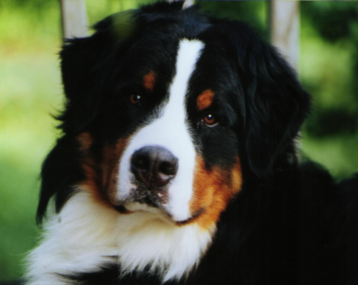 Bernese Mountain Dogs Mountain Dogs Bernice Mountain Dog