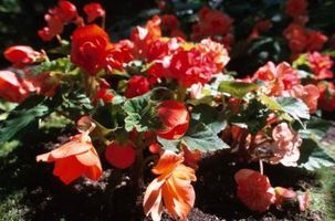 Why Are The Leaves On My Begonia Wilting Ehow Begonia Plants Full Shade Flowers