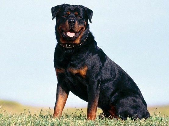 How Handsome Rottweilers Danette Chumley Rottweiler Dog