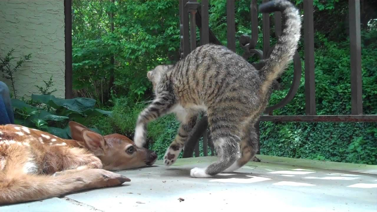 Kitten Tries To Get A Small Fawn To Play Animals Baby Deer Wild Animals Photos