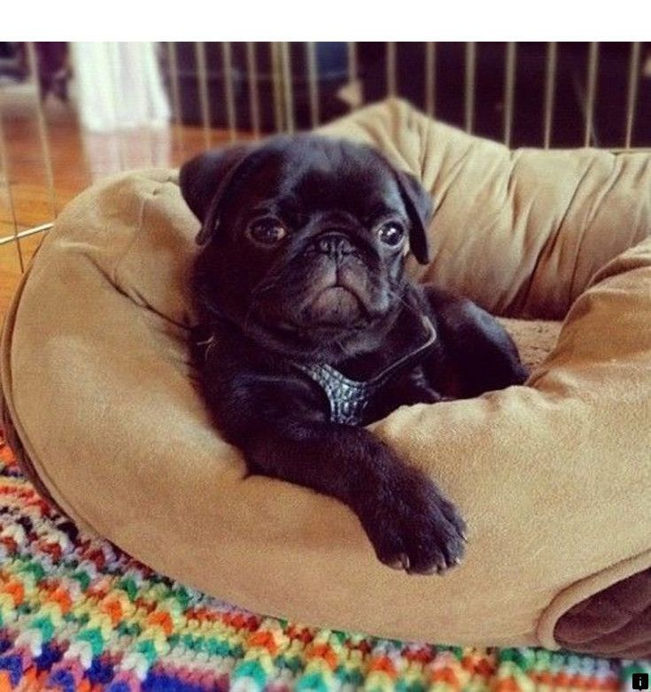 Want To Know More About Black Pug Puppies For Sale Follow The