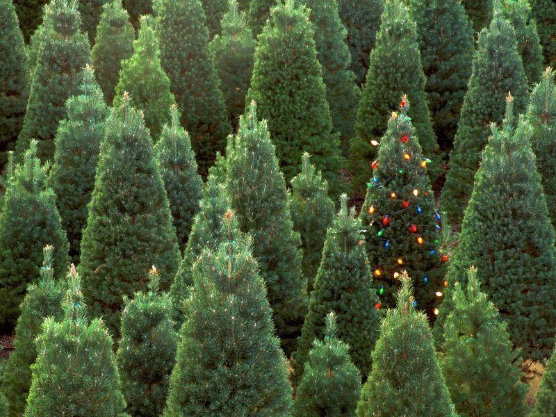 Consejos para una Navidad Ecológica , árbol natural ó artificial ...