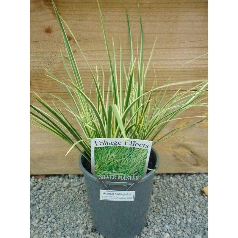 Acorus Silverstone 125mms 9.98 bunnings Plants, Acorus