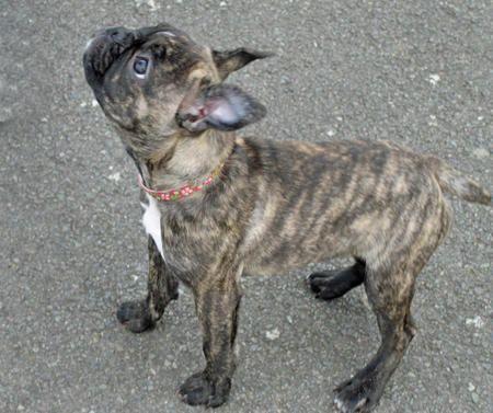 Lola The Boston Terrier Mix Brindle Boston Terrier Boston Terrier Dog Pitbull Terrier