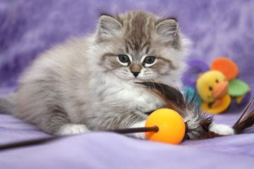 ragamuffin kittens