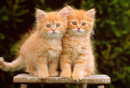 Twin Little Orange & White Kittens orangekittens Tabby