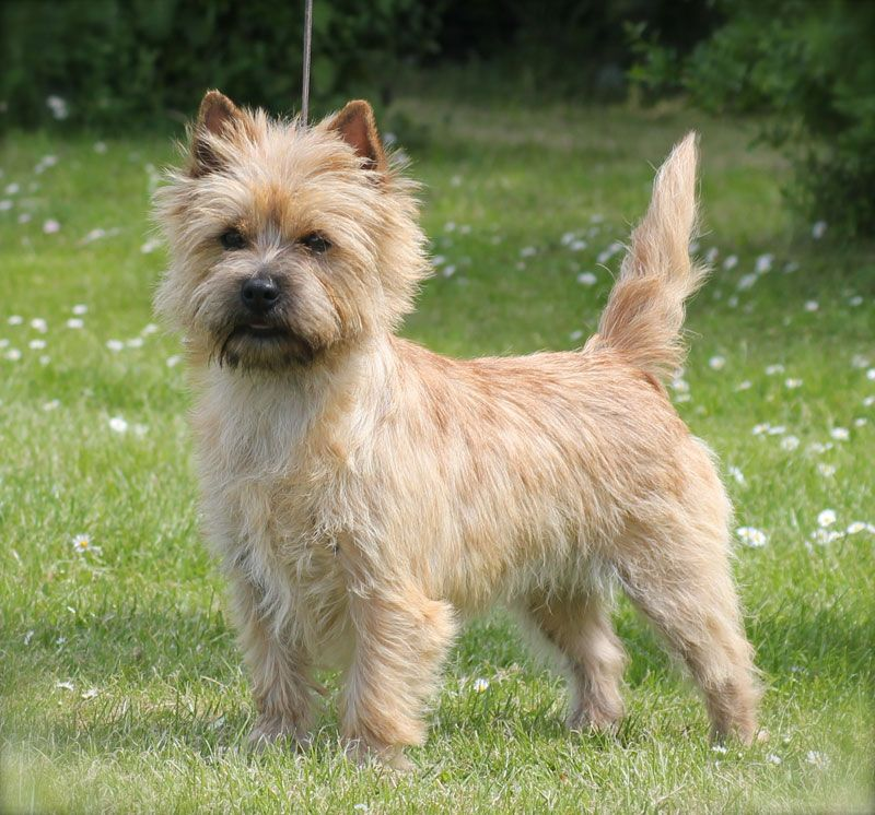 What Your Dog S Tail Can Tell You Cairn Terrier Your Dog Pet Hacks