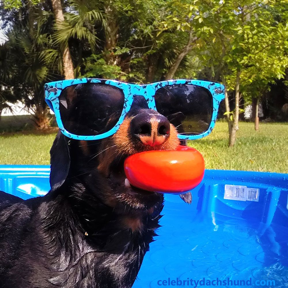 Dachshund Cool In The Pool Dachshund Puppies And Kitties