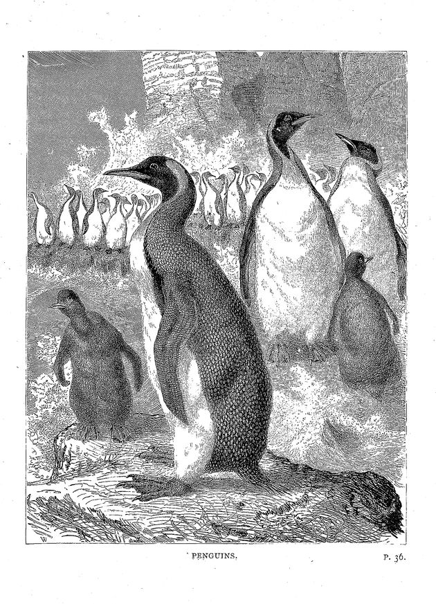 Penguins - Our feathered companions, or, Conversations of a father with his children about sea-birds, song-birds, and other feathered tribes that live in or visit the British Isles, their habits, &c. - Plate