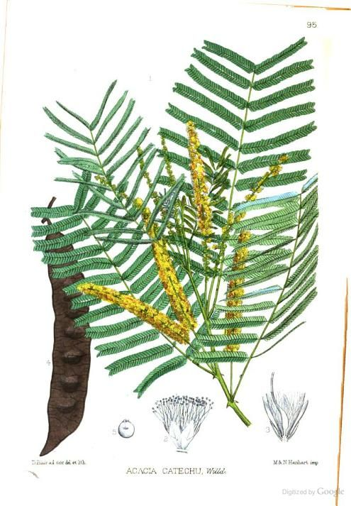 Acacia Catechu Leguminosae To Valerianaceae Robert Bentley Henry Trimen David Blair Google Books