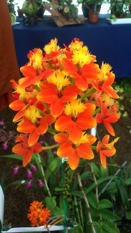 Penang Flora Fest 2012 Bunga Eksotis Kebun Bunga Anggrek
