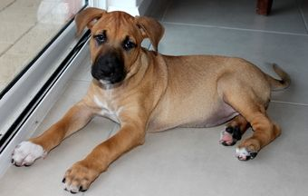 Female Ridgeback X Great Dane X Staffy X Bull Mastiff Bull