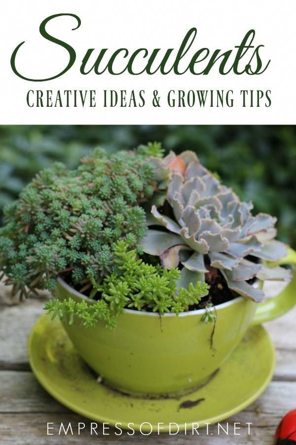 Growing tips and creative ideas for succulents and air plants. #gardening #succulents #gardentips #creativegardenideas #growingtips #succulentlove #empressofdirt #gardenphotography