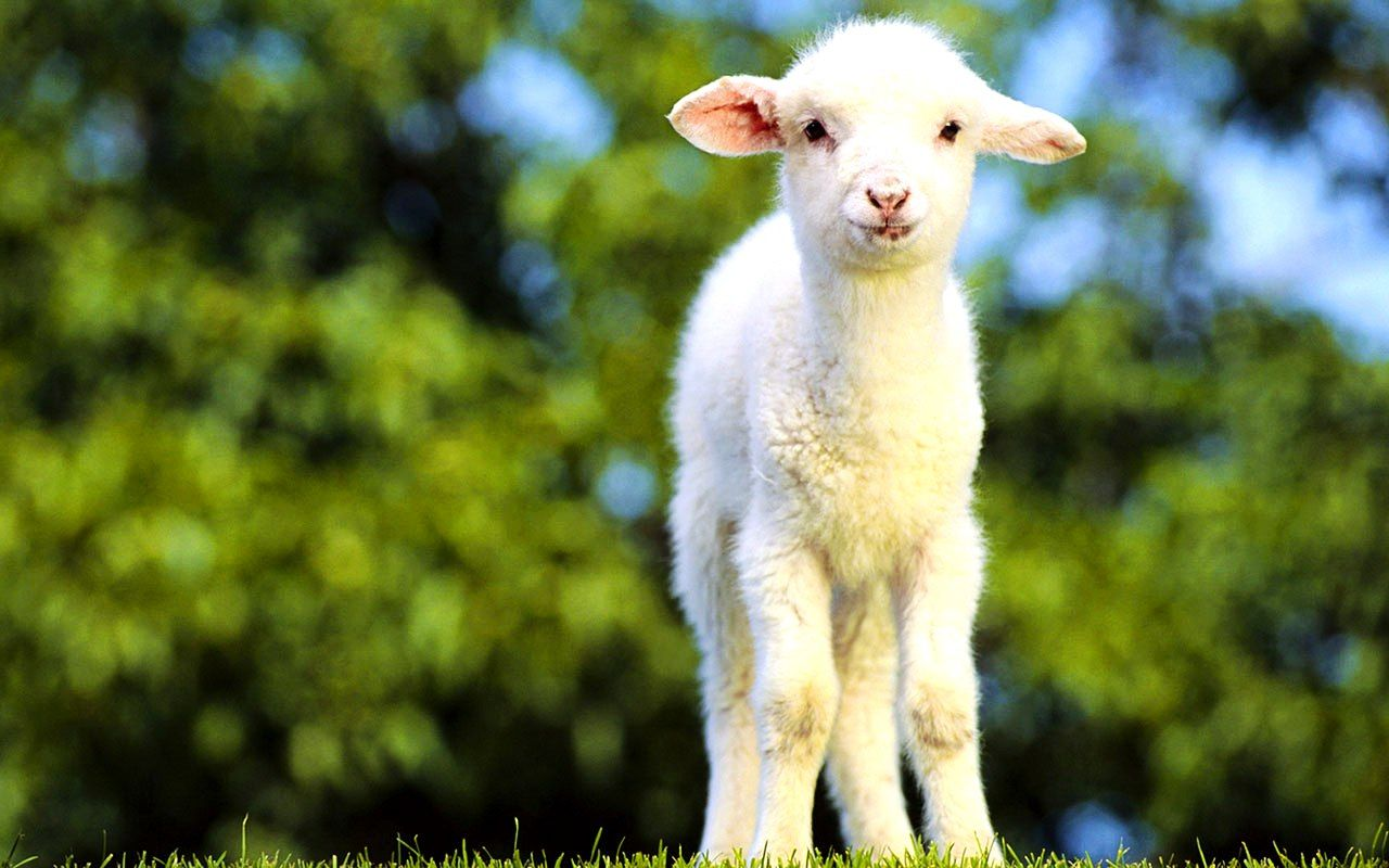 New Goat Bakra HD Wallpapers Pictures Images Photos