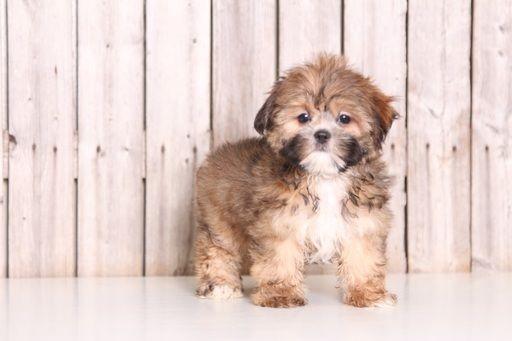 Shorkie Tzu Puppy For Sale In Mount Vernon Oh Adn 46707 On Puppyfinder Com Gender Female Age 10 Weeks Old Puppies For Sale Puppies Shorkie Tzu