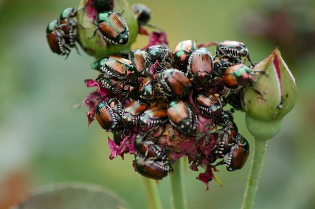 how to rid japanese beetles from roses