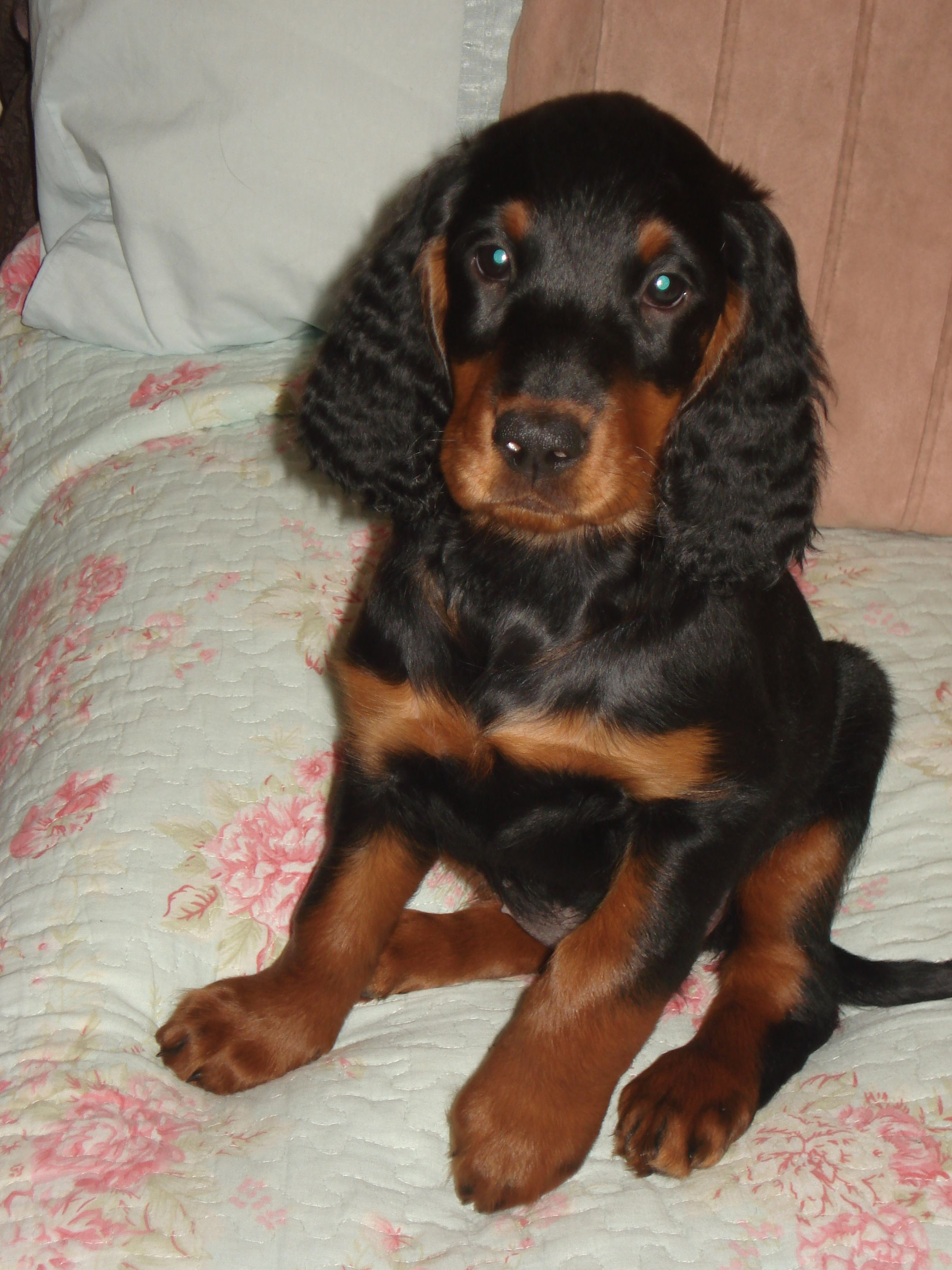 Rosie Our New Gordon Setter Puppy Looking Cute At 8 Weeks Old