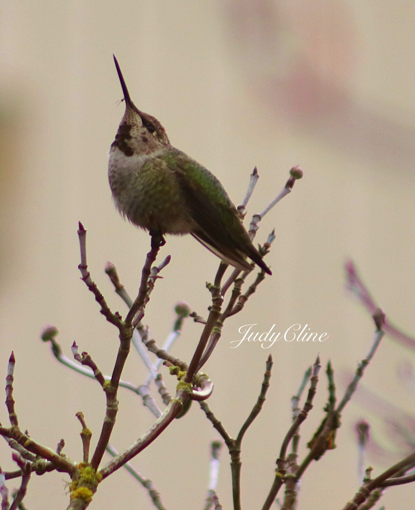 Anna S Hummingbird Washington State Judycline 11 5