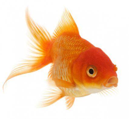 Como Veria Si Fuera Un Pez Dorado Este Tipo De Peces Son Realmente Bonitos No Obstante Hay Un Aspecto Que No Tipos De Peces Pez Dorado Especies De Peces