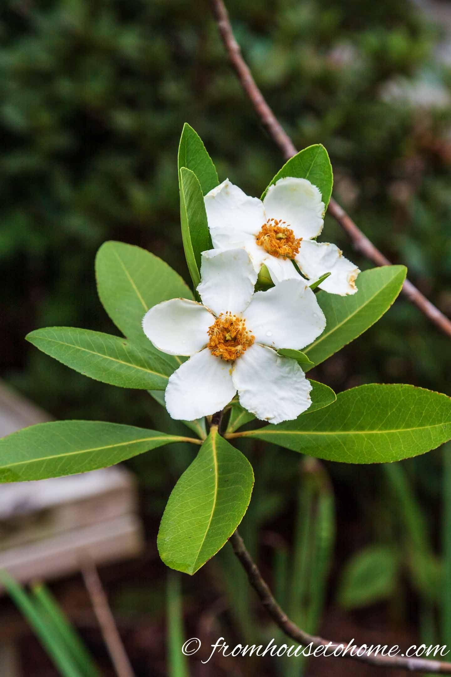 20 of the best white flowering shrubs white flowering