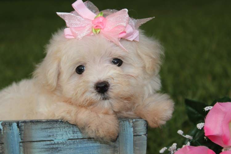 Malti Poo Puppies For Sale In Louisiana Maltipoo Poodle Puppies