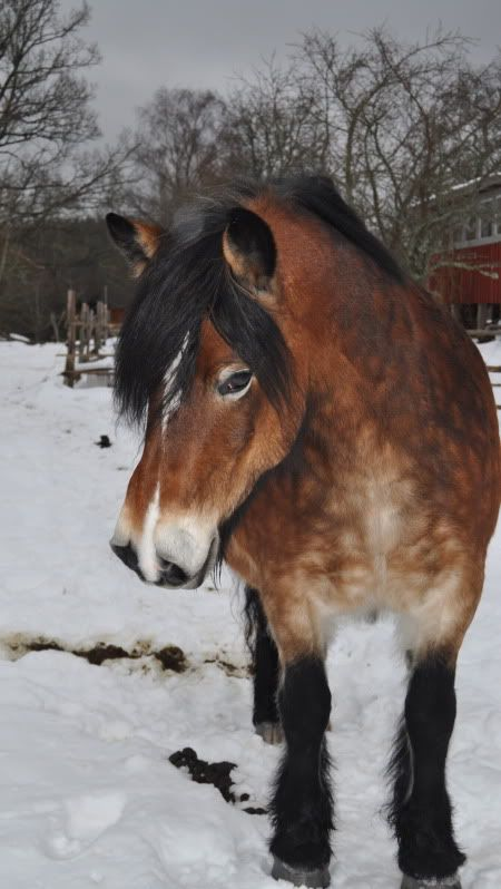 Nordsvensk Horse They Have Such A Gentle Cute Intelligent Look In Their Eyes Horses Horse Breeds Pretty Horses
