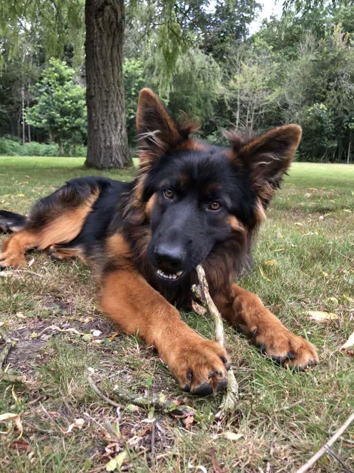 Pin Von Barbara Rathmanner Auf Schaferhund Pup Deutscher Schaferhund Welpen Schaferhund Welpen Schaferhunde