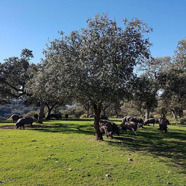 """Os presento mi """"ganadería"""" 😆 Criados en los montes de Ronda, Denominación de origen Jabugo, catalogación  súmmum :) @antonioacevedo_"""