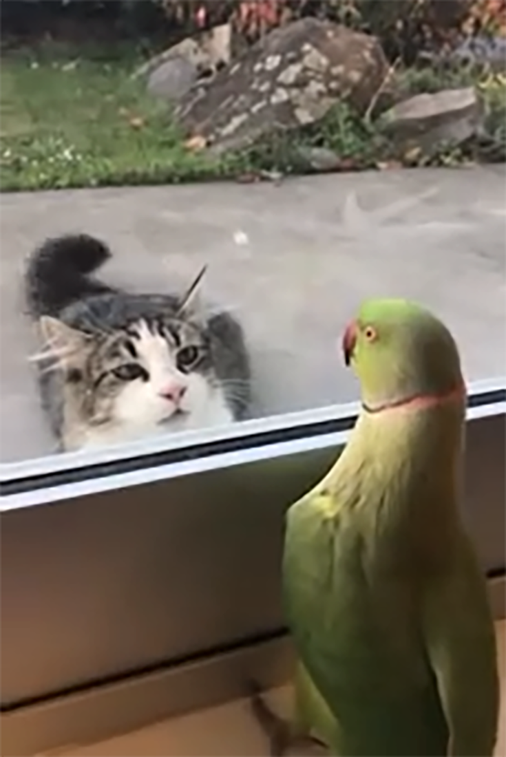 Funny Video Of Parrot Playing Peek A Boo With The Neighbors Cat #birds #funnystuff #cats #parrot #peekaboo #animals #cat #funnyanimals #kittens