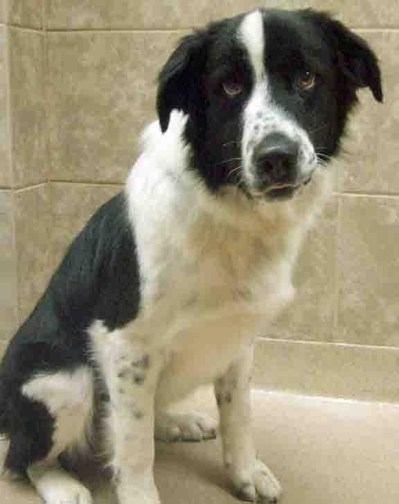 Adopt Mason On Dog Mixes Bernese Mountain Dog Mix Bernese