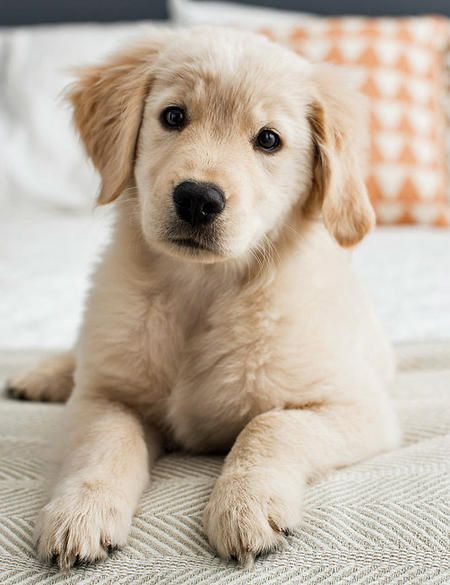 Rosie The Golden Retriever Golden Retriever Retriever Puppy